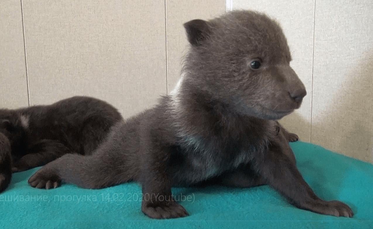 Биологи из Тверской области рассказали о буднях подопечных медвежат
