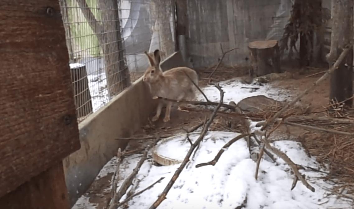 Сильный снег помешал зайцу выйти на волю в Тверской области