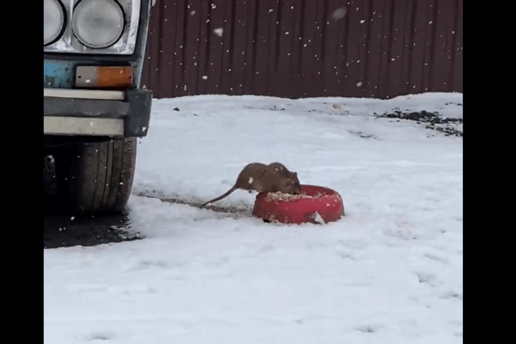 Тверитянка сняла на видео, как гигантские крысы едят из собачьей миски