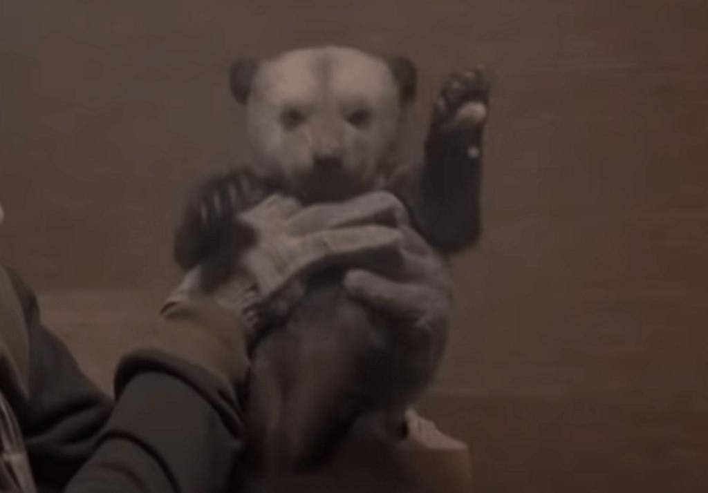 В Тверскую область привезли десятого медвежонка-сироту