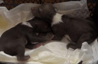 Тверские биологи рассказали о путешествии медвежат-сирот в Центр спасения