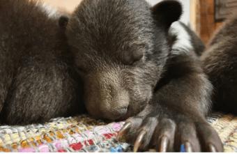 Из Псковской области в Тверскую приехал медвежонок-сирота Блэк