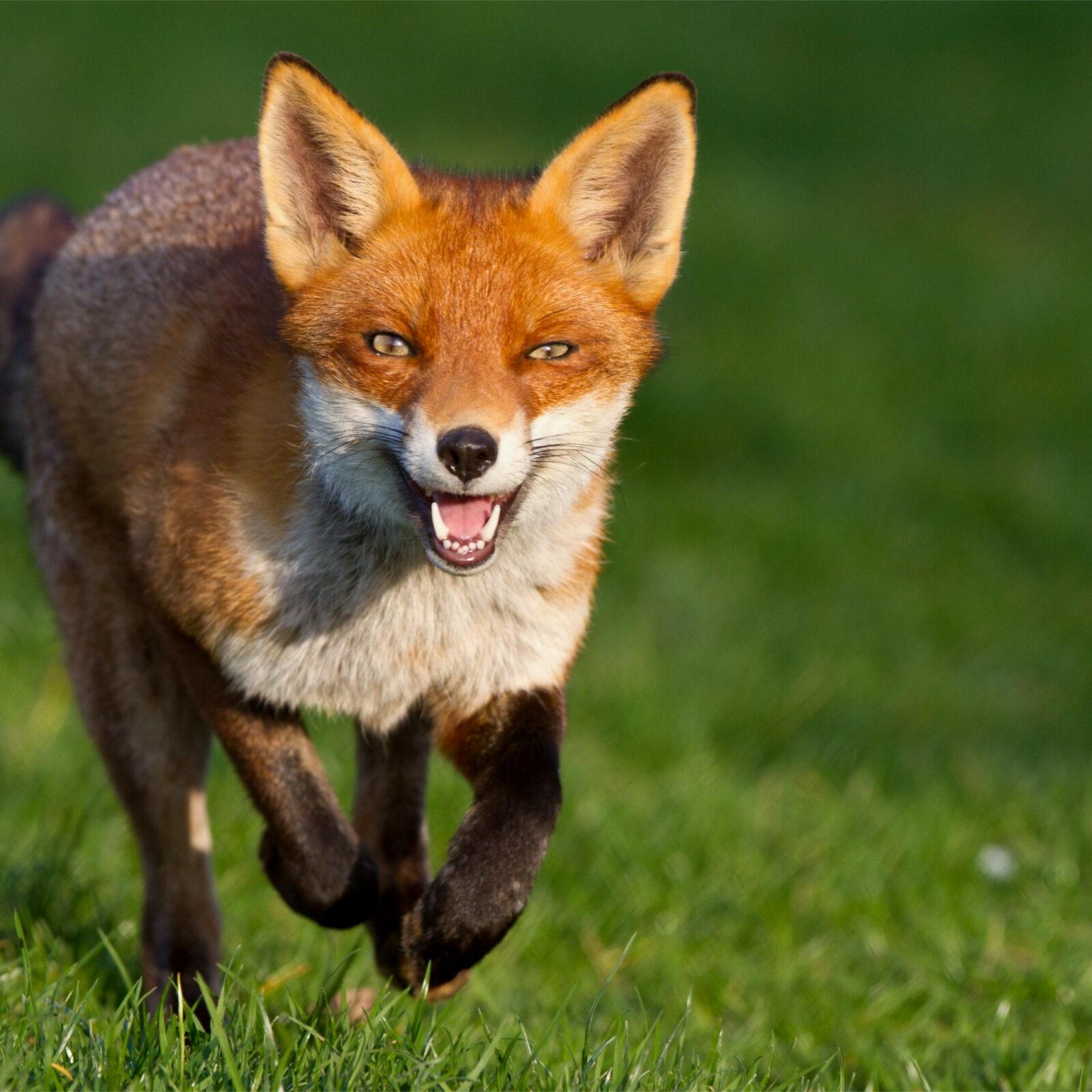 В Нелидово ищут сбежавших лис