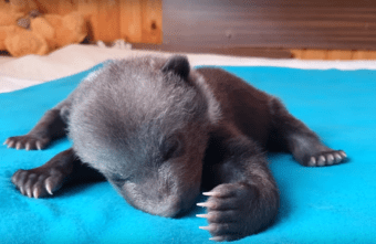 В тверском Центре спасения медвежат рассказали, как дела у медведицы Маши