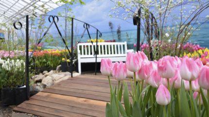 В последний день зимы в Твери расцветут удивительные тюльпаны