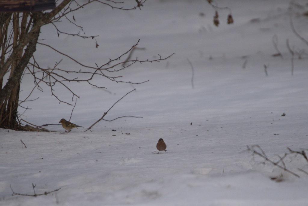 Зяблики из Тверской области променяли берег Красного моря на родной заповедник