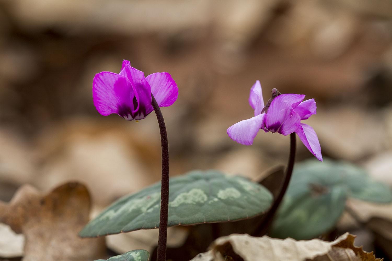 В Твери зацвели цветы, занесенные в Красную книгу
