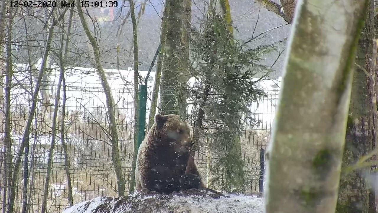 Накануне 8 марта тверской медведь Мансур решил выбросить елку