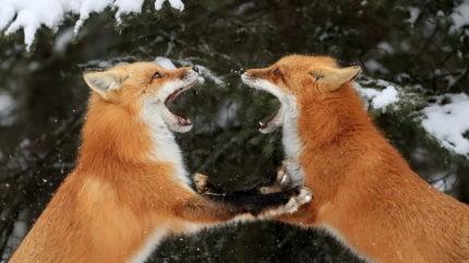 По Тверской области гуляли две бешеные лисы