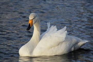 К месту расстрела лебедей в Тверской области направили оперативную проверку