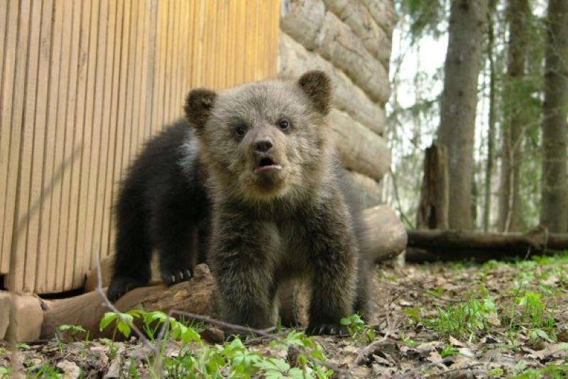 Специалисты рассказали, когда медвежат из торопецкого Центра спасения вернут в лес