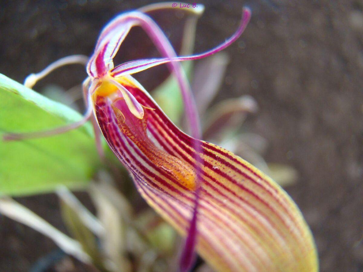 В Твери расцвели экзотические орхидеи