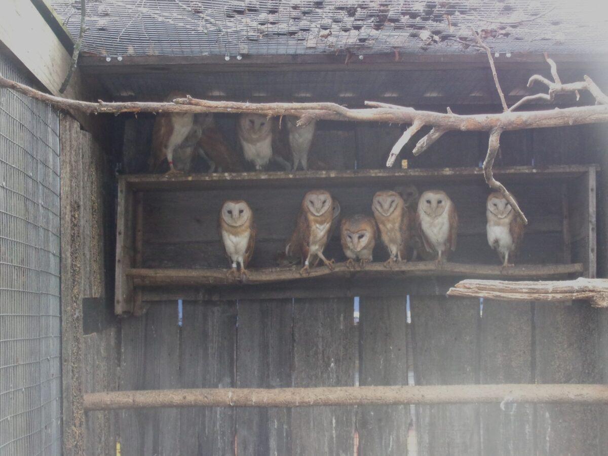 Сов сипух из Тверской области скоро выпустят на волю