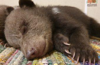 Специалисты торопецкого Центра спасения рассказали, кто самый капризный медвежонок