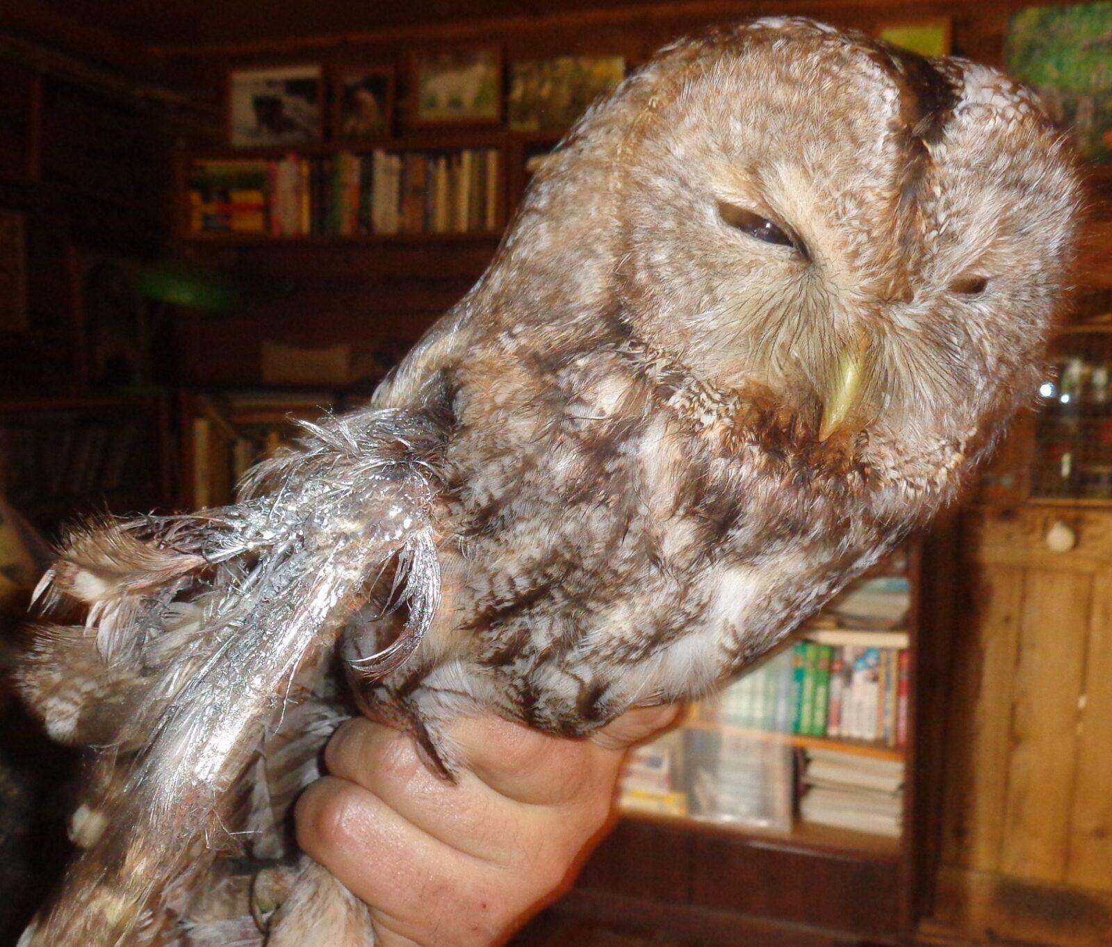 В Тверской области сова запуталась в сетке забора