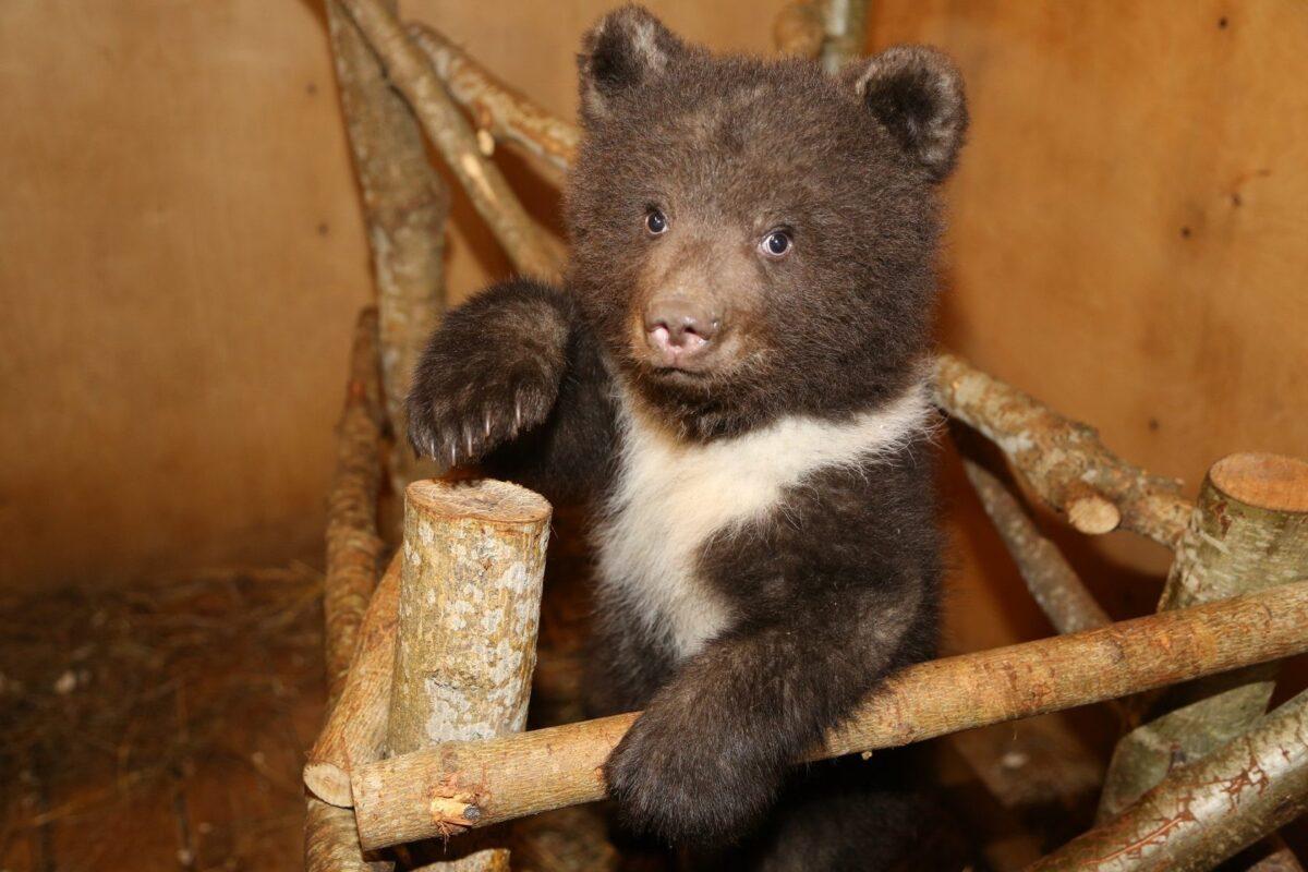 Появилось первое видео из медвежьего детского сада в Тверской области