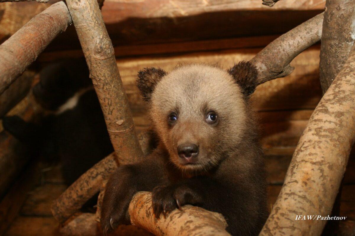 Начался второй этап реабилитации медвежат-сирот в Тверской области