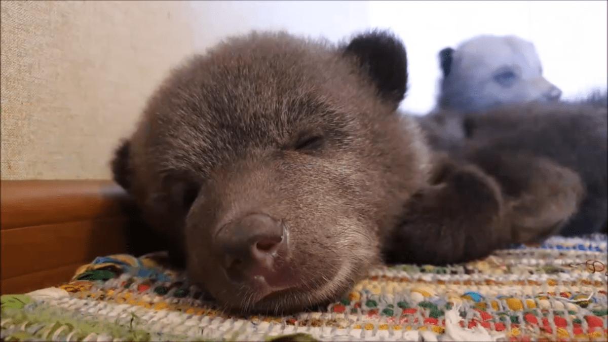 На спасение медвежат в Тверской области пожертвовали миллион рублей