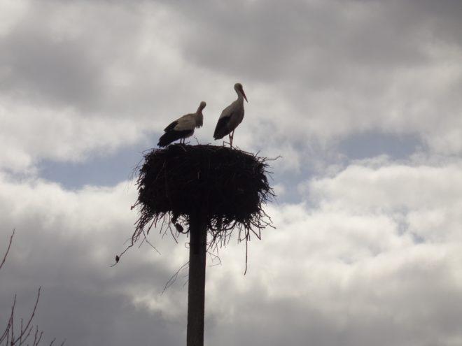 В Тверской области гигантский аист уступил гнездо сопернику