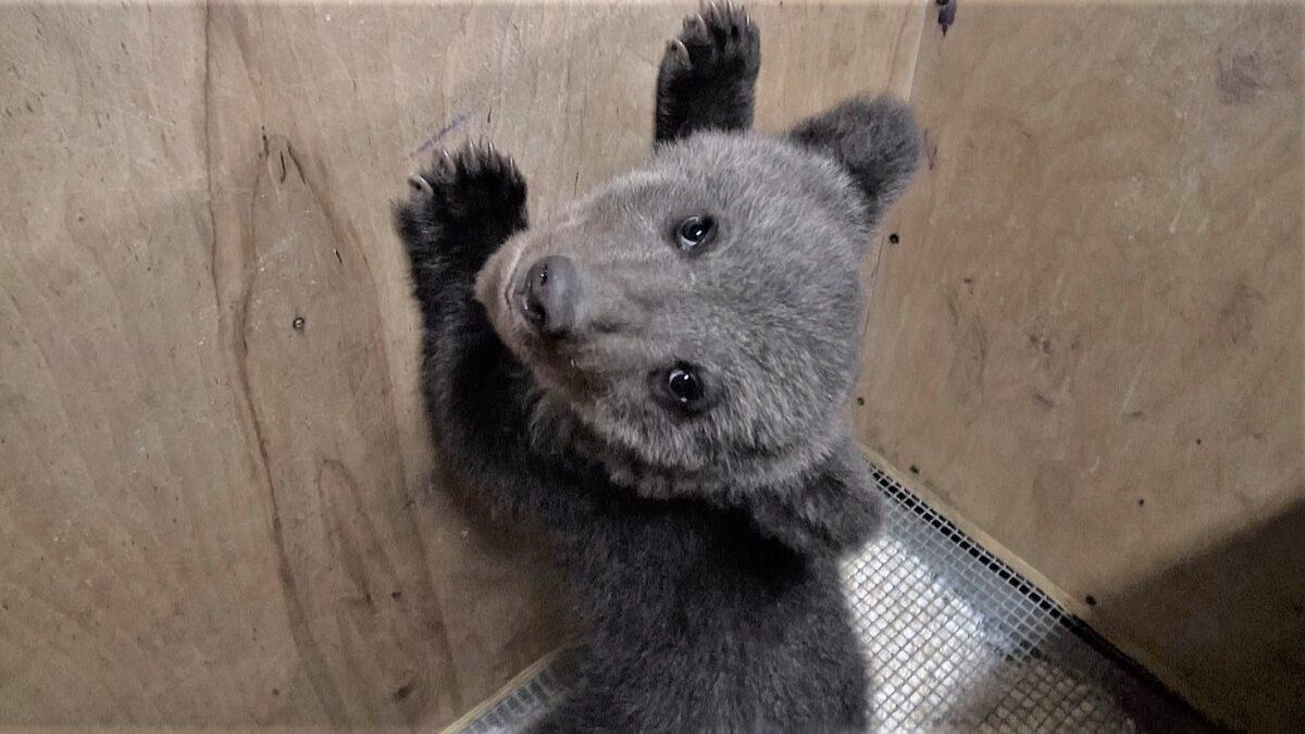 В Тверскую область привезли семнадцатого медвежонка