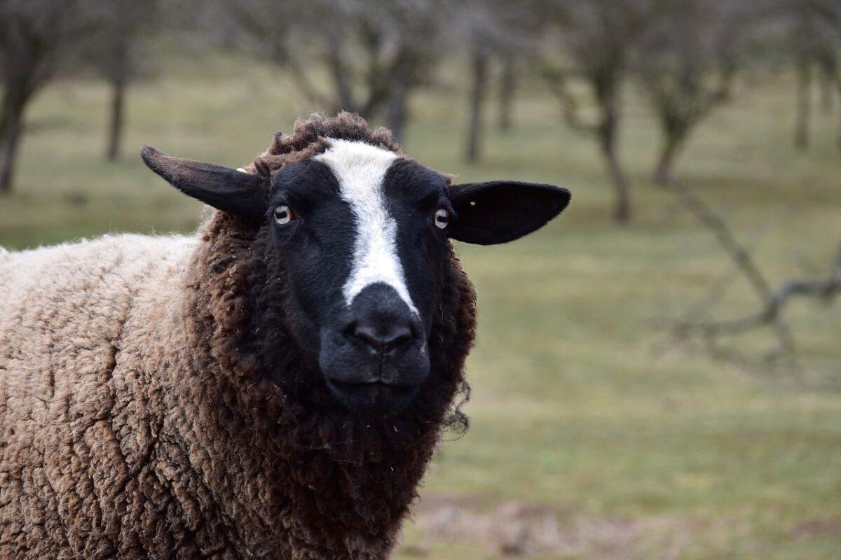 Жительница Тверской области сняла на камеру, как овцы пасутся на кладбище