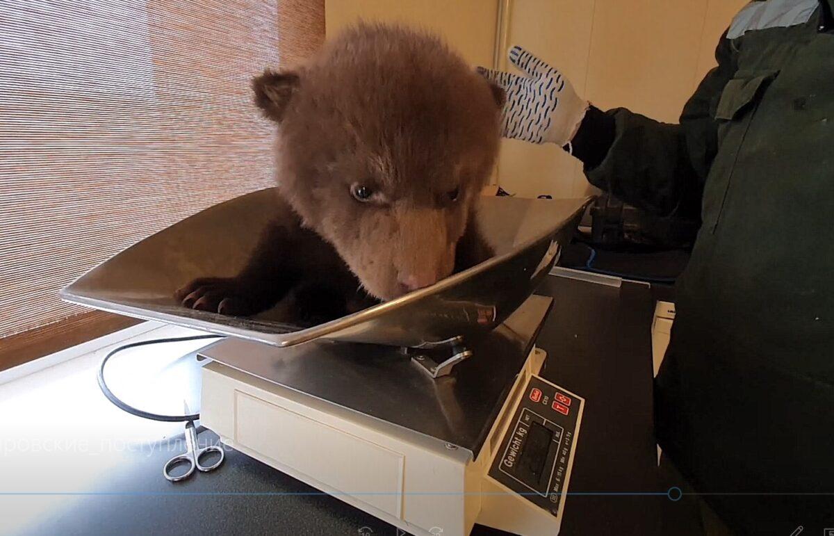 Тверские волонтеры преодолели 3 тысячи километров, чтобы спасти медвежат-сирот