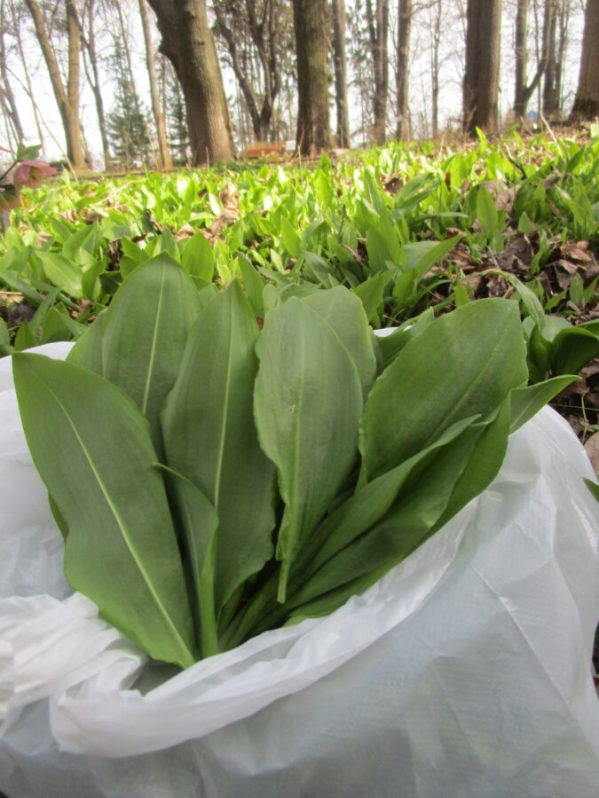 В тверском Ботсаду все желающие могут бесплатно взять листья черемши