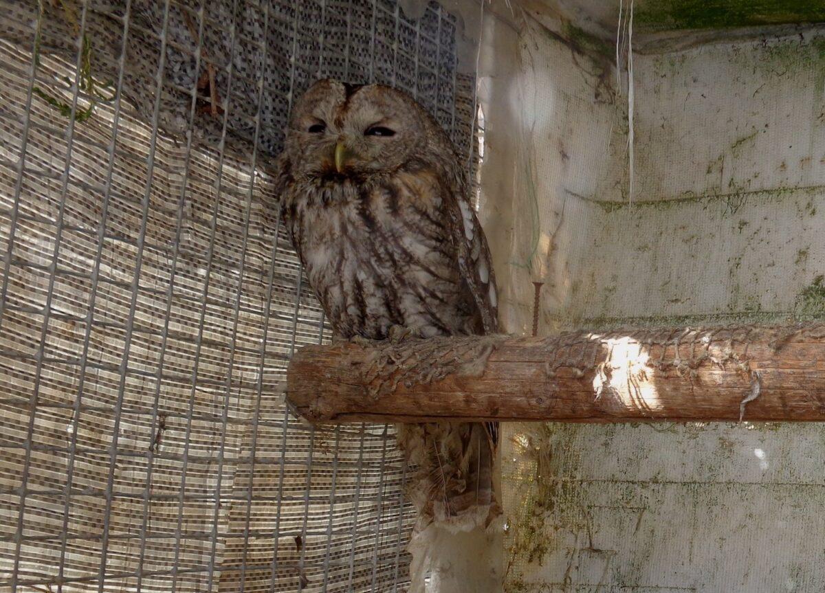 Биологи из Тверской области рассказали о судьбе совы, запутавшейся в сетке