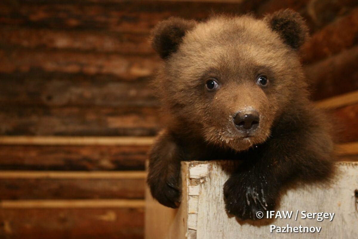 Ветеринары осмотрели медвежат, подрастающих в Тверской области
