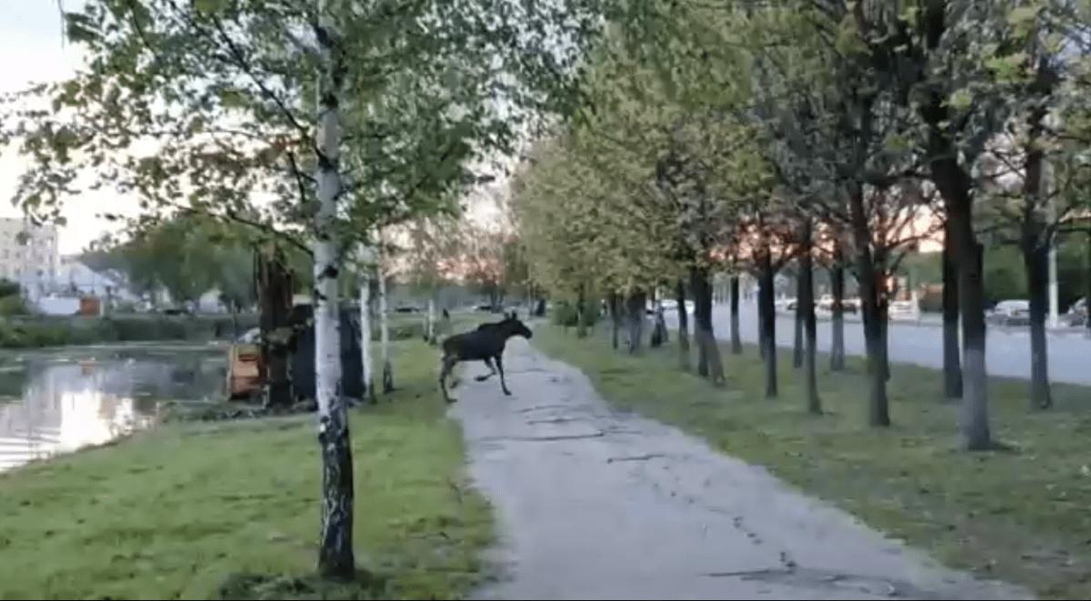 По улицам в центре Твери бегал напуганный лосёнок