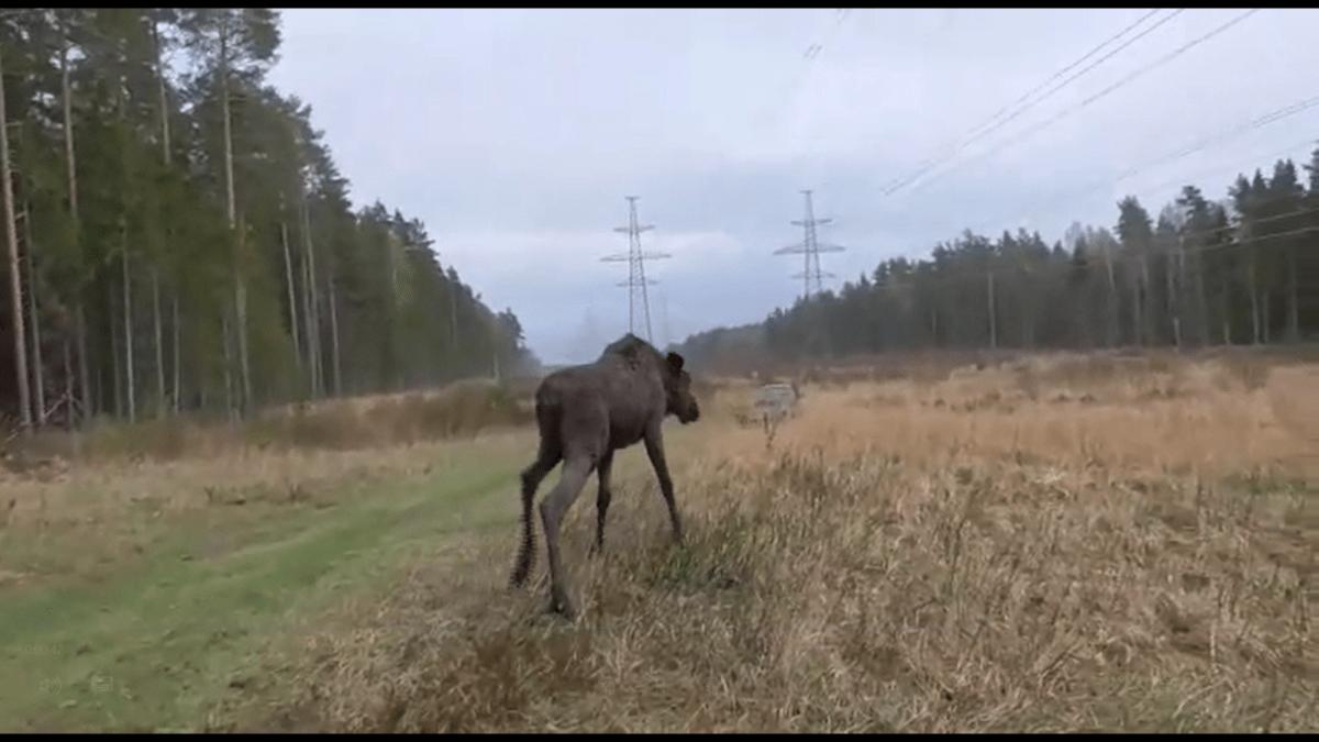 Жители Тверской области сняли видео о спасении лося из мазутной ямы