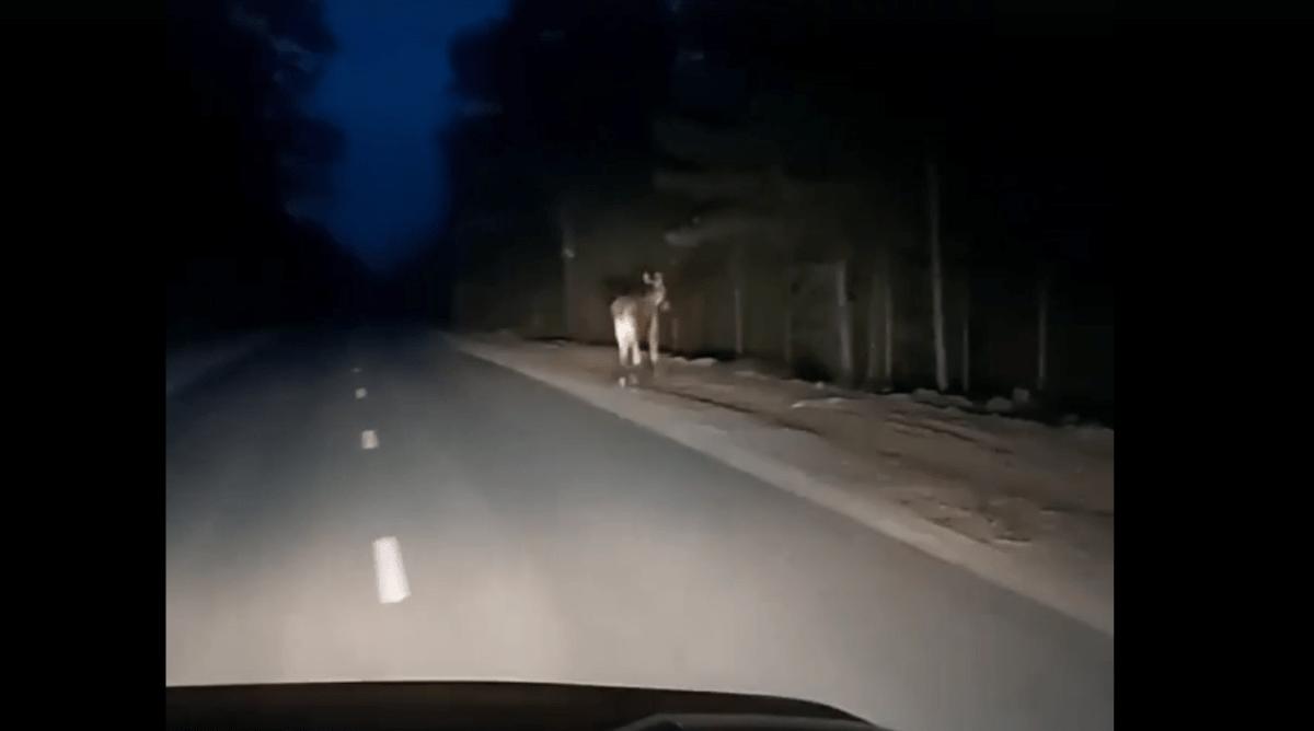 В Тверской области сняли на камеру лося, перебегающего дорогу в темноте