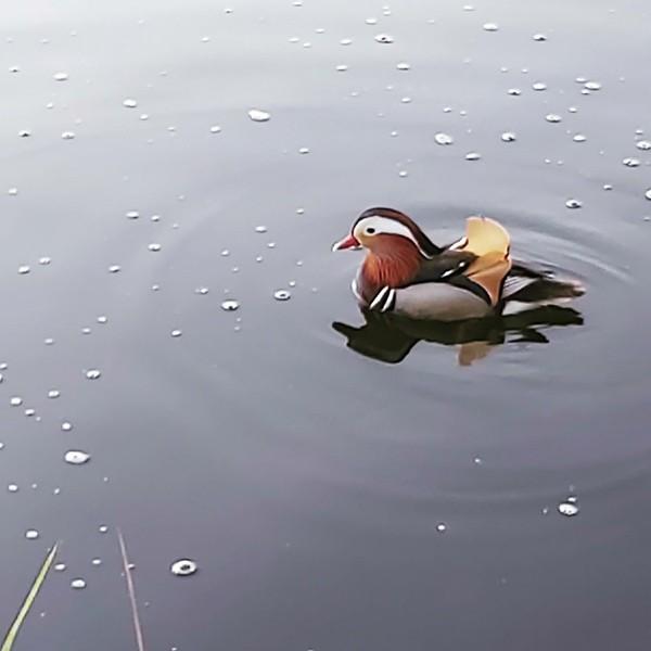 В Тверскую область заплыла утка, занесенная в Красную книгу