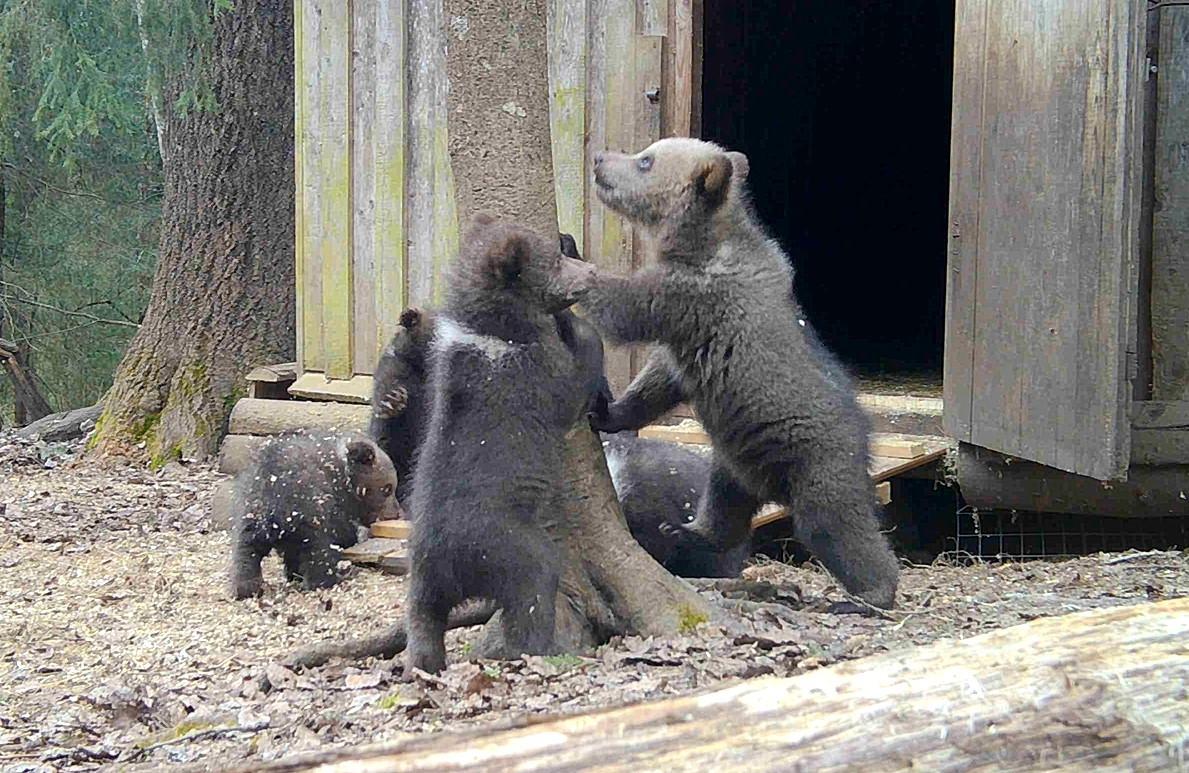Опубликовано видео, как в Тверской области медвежата вышли из берлоги