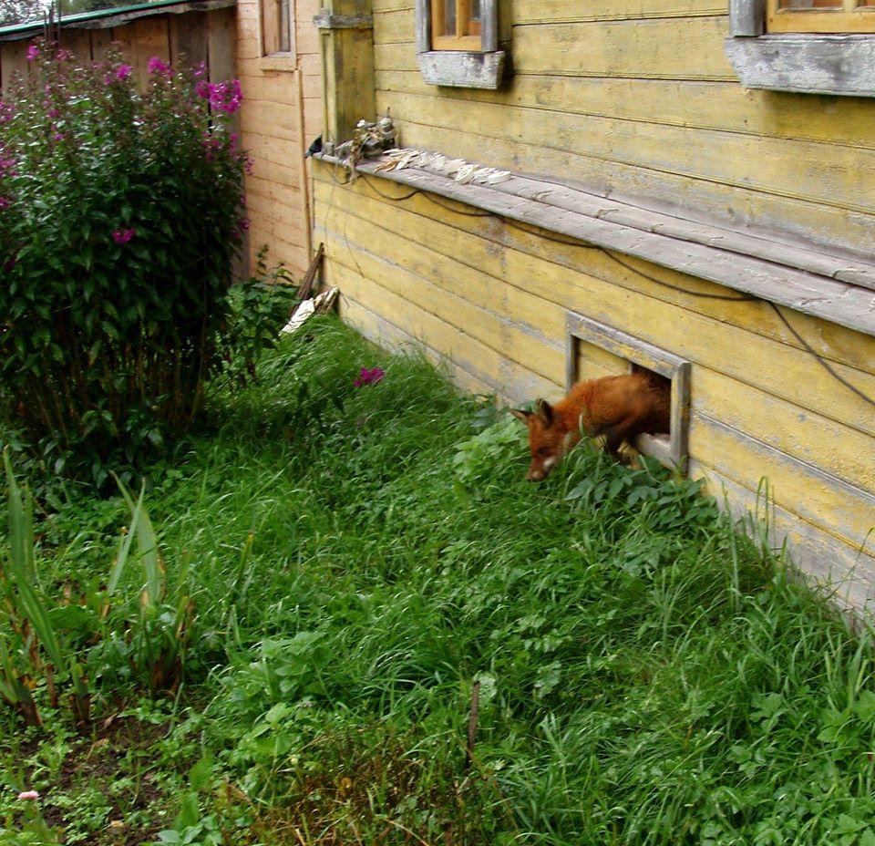 Лисы все чаще приходят к людям в Тверской области