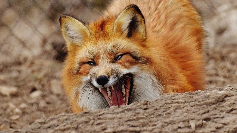 В Калининском районе Тверской области обнаружили бешеную лису