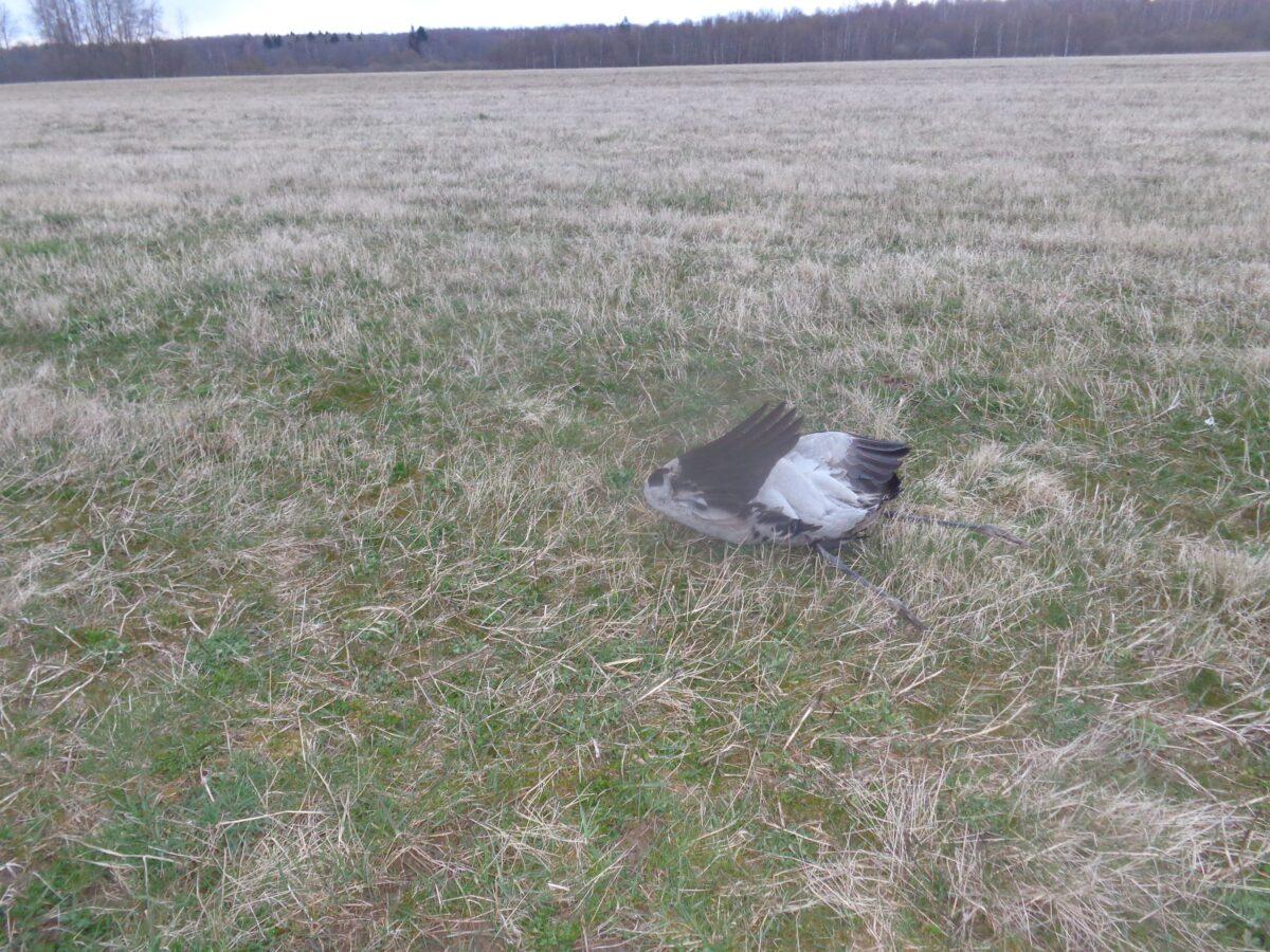 Опубликовано видео трагической гибели журавлей в Тверской области