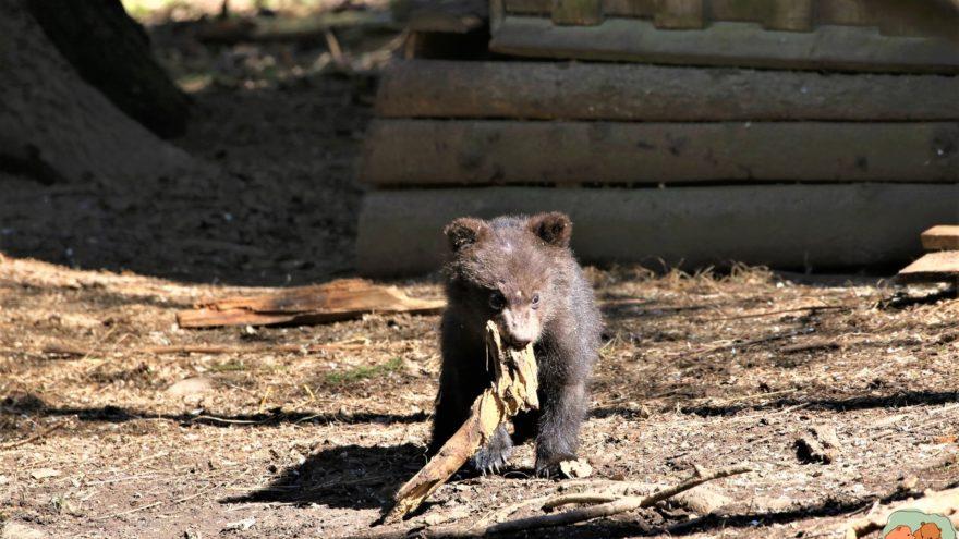 Медвежатам в Тверской области не понравилось, как установлена камера