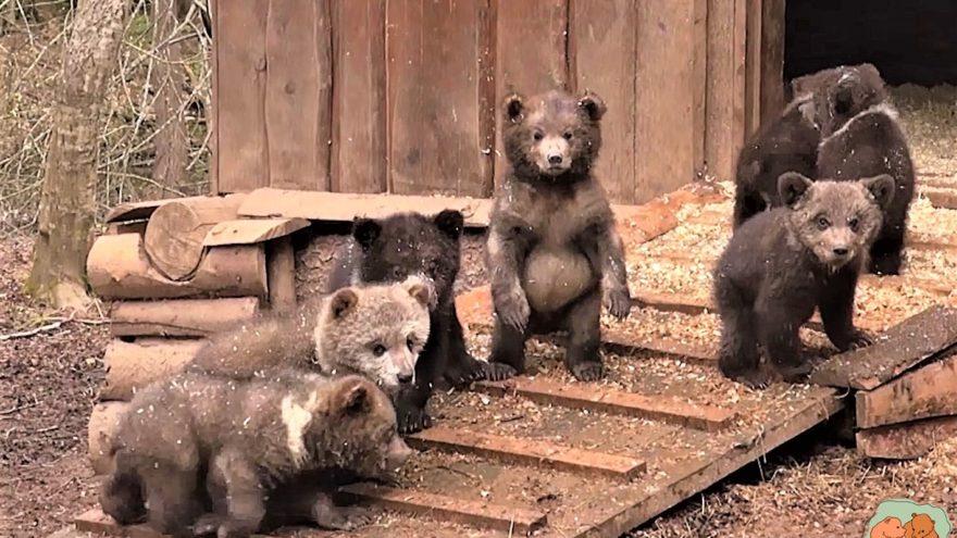 Медвежата-сироты в Тверской области стали классными альпинистами