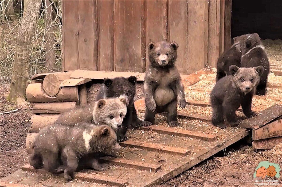 Торопецкие биологи рассказали, как растут подопечные медвежата