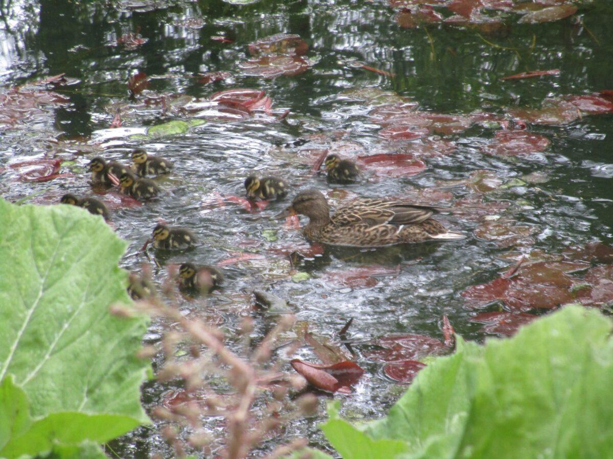 В тверском Ботаническом саду утка впервые вывела на прогулку утят