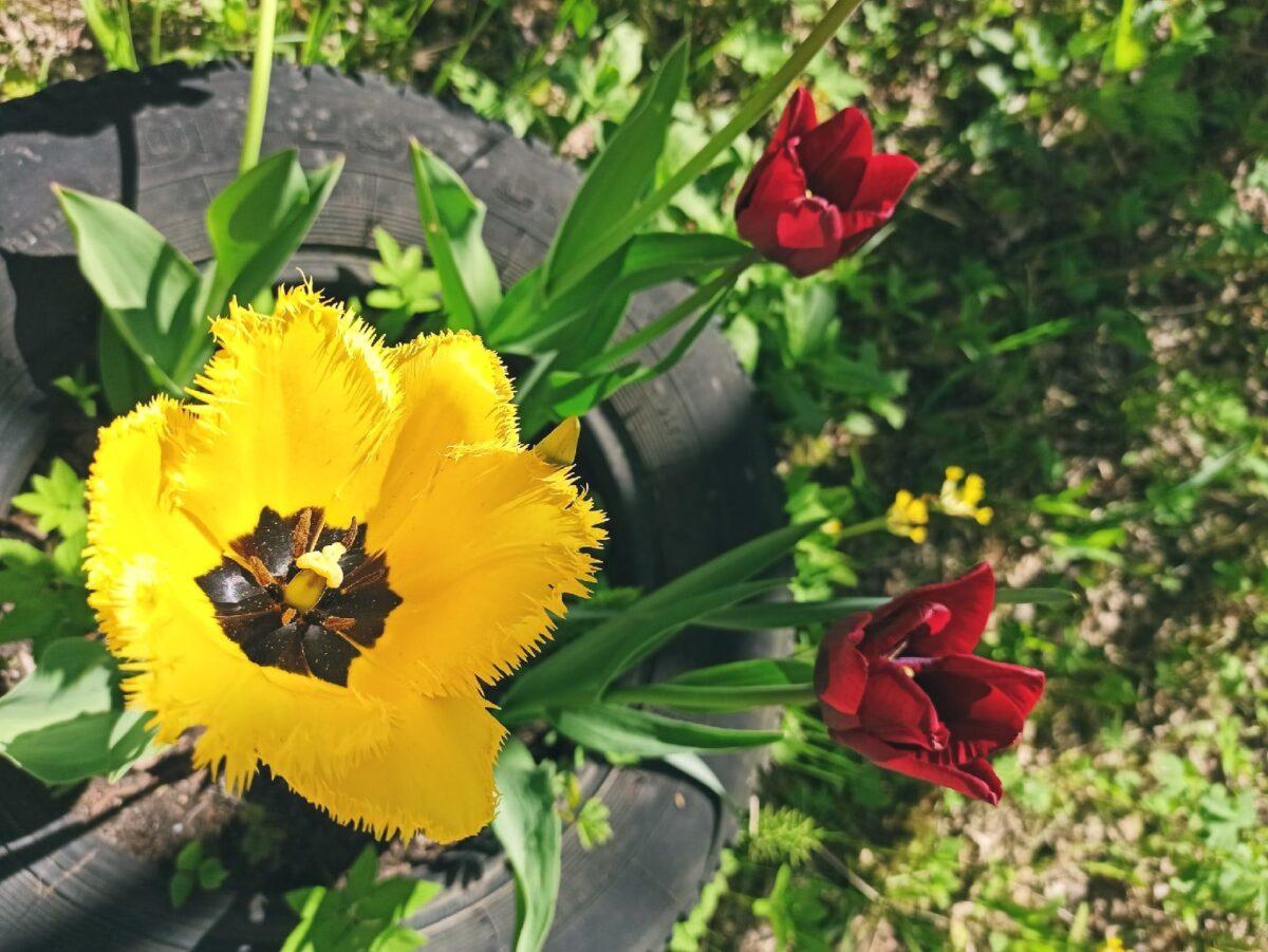 Жителей Тверской области приглашают на Бал тюльпанов онлайн