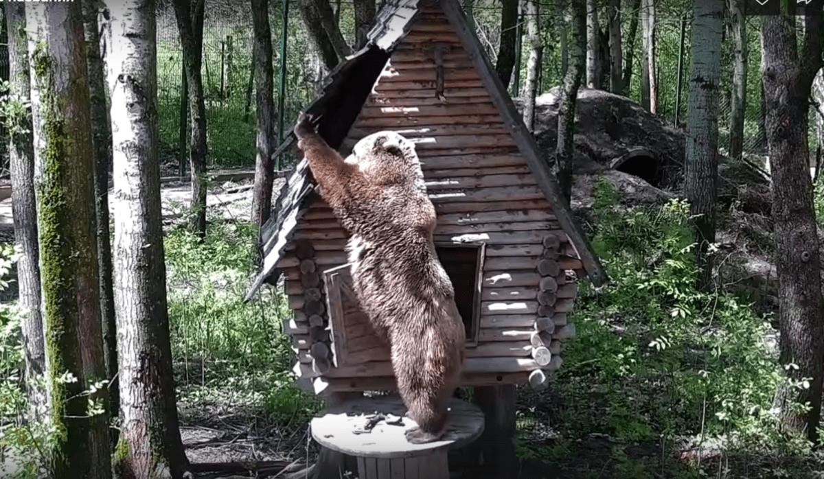 Тверской медведь Мансур отломал крышу своего домика