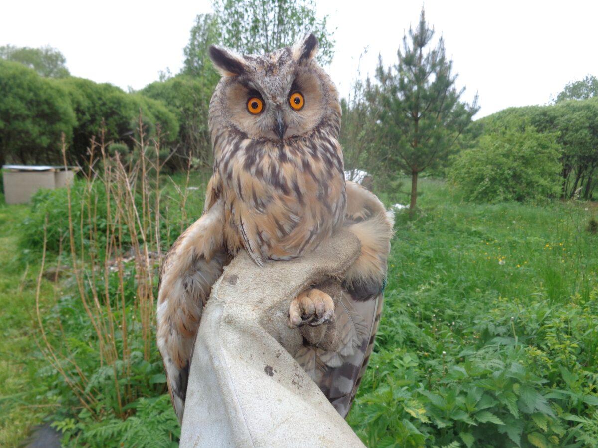 Оголодавшая сова с переломом крыла восстанавливает силы в Тверской области