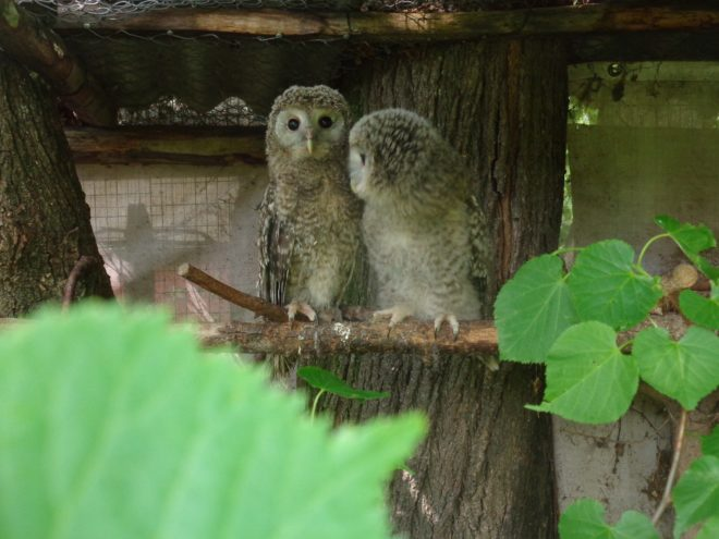 Сова из Тверской области сама не верит, что птенцы так выросли