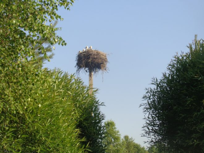 В Тверской области ко взрослой жизни готовятся четыре аистёнка