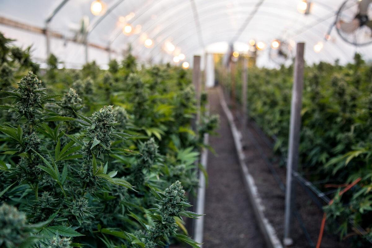 В Твери мужчина выращивал марихуану в теплице