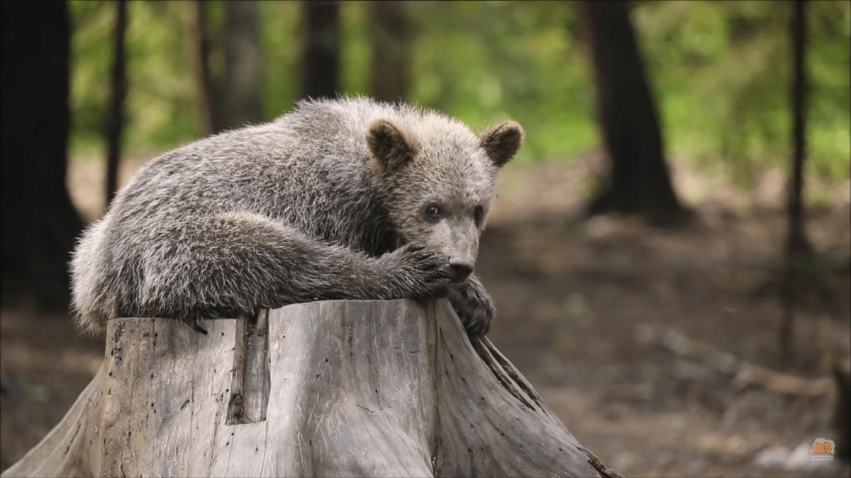 В Тверской области готовятся к выпуску 18 медвежат-сирот