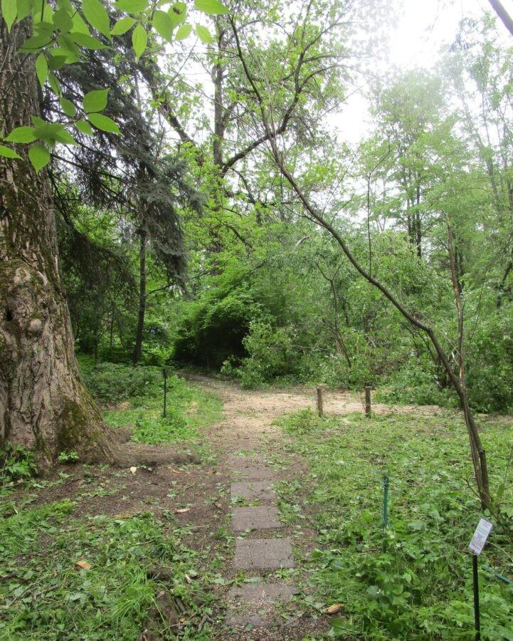 В тверском ботаническом саду разгребли завалы после падения черного тополя