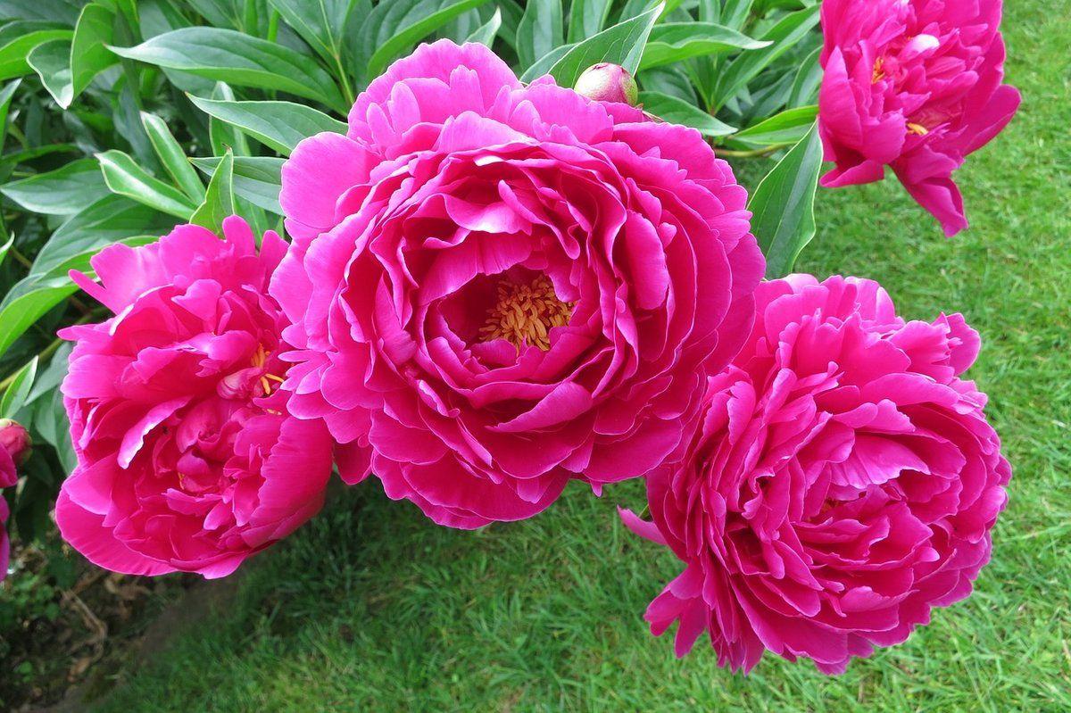 В тверском Ботаническом саду рассказали, почему пион ассоциируется с тщеславием